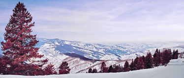 Red pine panorama. A panoramic shot from the top of the mountain in vail colorado with a beatiful red pine tree on the foreground Royalty Free Stock Photos