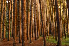 Red Pine Plantation Royalty Free Stock Images