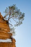 Red Pine on sandstone cliff with snow royalty free stock photo