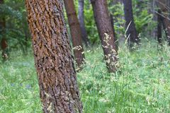 Red pines in Galicia Spain. Detail of a forest of red pines in Galicia Spain, with the ground covered with grass royalty free stock photos