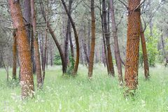 Red pines in Galicia Spain. Detail of a forest of red pines in Galicia Spain, with the ground covered with grass royalty free stock photography