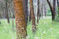 Red pines in Galicia Spain. Detail of a forest of red pines in Galicia Spain, with the ground covered with grass royalty free stock image