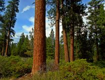 Red Pines. Ponderosa forest scene at Indian Ford Campground near Sisters, OR stock photo