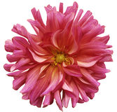 Red-pink big flower, yellow center on a white  background isolated  with clipping path. Closeup. big shaggy  flower. for design. Royalty Free Stock Image