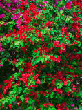 Red Pink blooming bougainvilleas Stock Photography