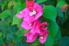 Red Pink blooming bougainvilleas flower Stock Photo