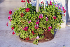 red and pink blooming geranium  flowers in  pot Royalty Free Stock Images