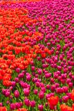 Red and pink tulip flower field Stock Image