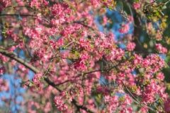 Red pink blossoms of  apple tree -  Malus Purpurea. Red pink blossoms of  apple tree - botanical name - Malus Purpurea Stock Photography