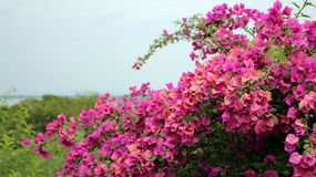 red pink Bougainvillea spectabilis Royalty Free Stock Image