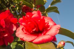 Red and pink camellia flower. In a bush with blue sky cloudless in the background royalty free stock photos