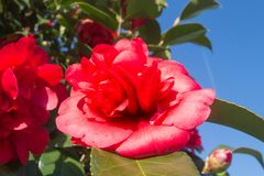 Red and pink camellia flower. In a bush with blue sky cloudless in the background royalty free stock photo