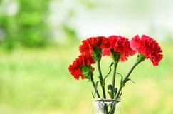 Red and pink carnation flower blooming glass jar and nature green background stock image