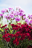 Red and pink carnations Royalty Free Stock Image