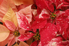 Red and pink Christmas poinsettias Stock Photo