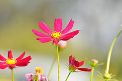 Red and pink Cosmos flowers Royalty Free Stock Image