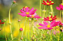 Red and pink Cosmos flowers Stock Photo