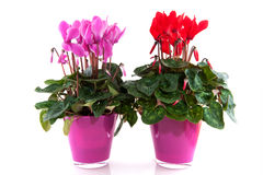 Red and pink Cyclamen Royalty Free Stock Image