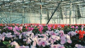Red and pink cyclamen flowers grow in pots in a greenhouse. 4K stock video footage