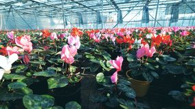 Red and pink cyclamen grow in a big greenhouse, placed in pots. 4K stock footage