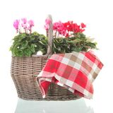 Red and pink Cyclamen in wicker basket. Isolated over white background royalty free stock photo