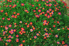Red and Pink Daisies. Red and pink flowers stock photography