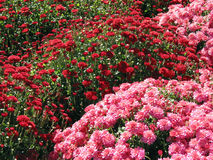 Red and pink fall mums Royalty Free Stock Photos