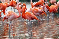 Red and pink Flamingo on a background of water. stock image