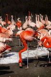 Flamingos Wildlife Exotic Tropical Birds Stock Photo