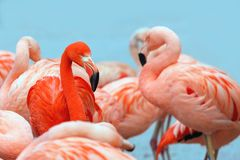 Red and pink flamingos on blue background. royalty free stock photo