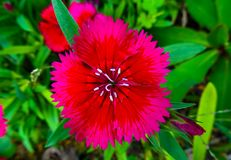 A pink and red flower with pointing edges with green plants below stock photography