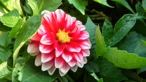 Red and pink flower. Background Royalty Free Stock Photos