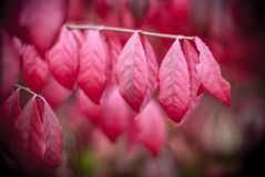 Red, Pink, Flower, Leaf royalty free stock images