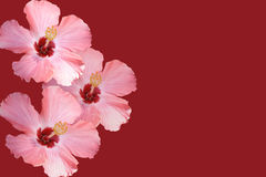 Red and Pink Flowers Royalty Free Stock Photography