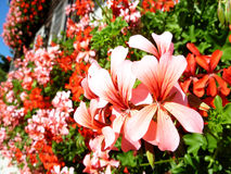 Red and pink flowers Royalty Free Stock Photo