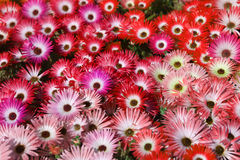 Red and pink flowers Stock Images