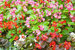 Red and pink flowers of Begonia Royalty Free Stock Photos