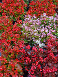 Red and pink flowers on the bush. Colorful flowering bush in a public park. Moscow, Russia Royalty Free Stock Photography
