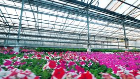 Red and pink flowers growing in a big greenhouse. 4K stock footage