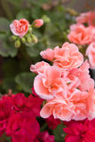 Red and pink geranium. Pink and red geranium on fuzzy background Royalty Free Stock Photos
