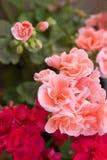 Red and pink geranium royalty free stock photos