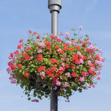 Red and pink Geranium basket on lamppost Royalty Free Stock Images