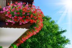 Red and pink geranium Stock Photos