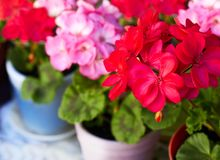 Red and pink geranium garden flowers in clay flowerpots, macro. Red and pink geranium garden flowers in clay flowerpots, close-up, diagonal view royalty free stock photo