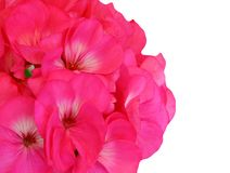 Red Pink Geranium. Single Red Pink Geranium isolated on white background Royalty Free Stock Image
