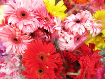Red and pink gerbera Royalty Free Stock Photography