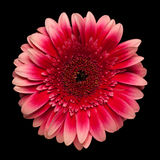 Red with pink gerbera flower Royalty Free Stock Images