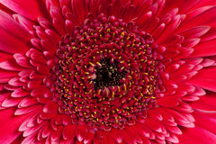 Red with pink gerbera flower Royalty Free Stock Photography