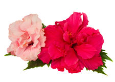 Red and pink hibiscus flowers Royalty Free Stock Photo