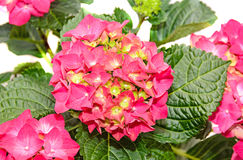 Red and pink Hydrangea flowers, hortensia close up isolated.  Stock Photo